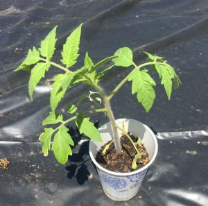 A tomato grown from seed