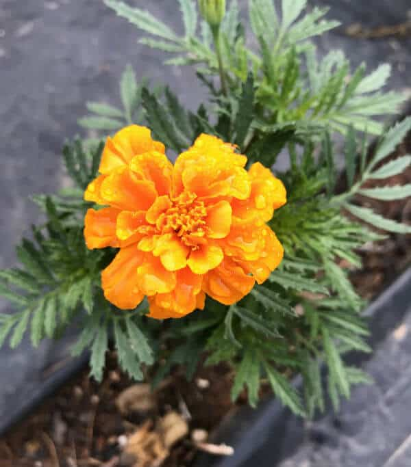 marigolds are natural pest control methods