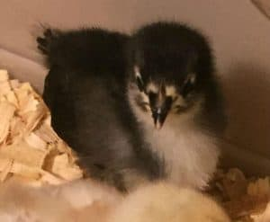 Baby Australorp chick