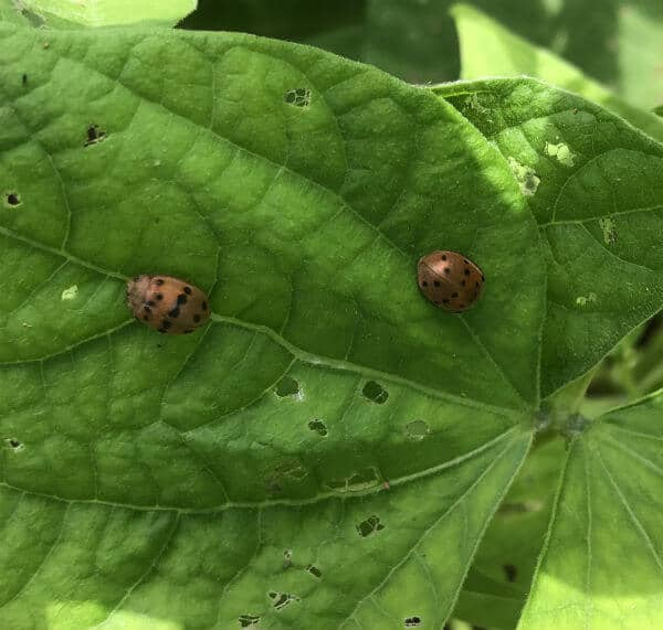 Mexican bean beetles