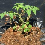 Tomato planted in black plastic