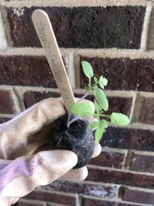 Two seedlings in a pot