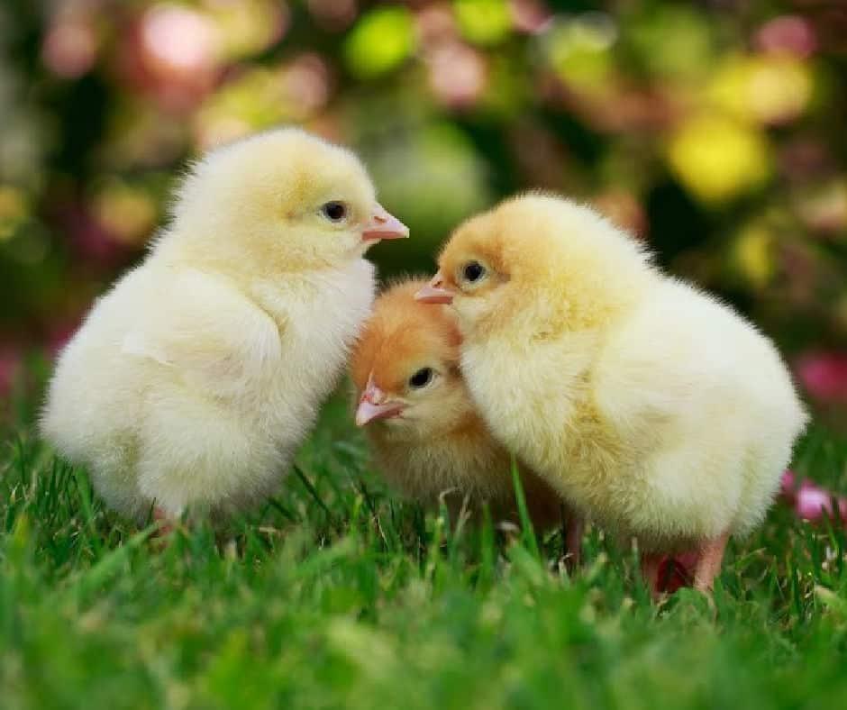3 baby chicks