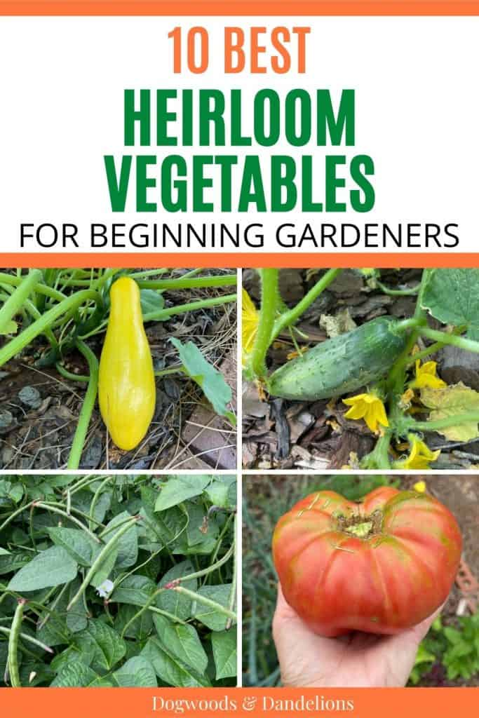 heirloom squash, cucumber, cowpeas and a tomato are some of the best heirloom vegetables for beginners