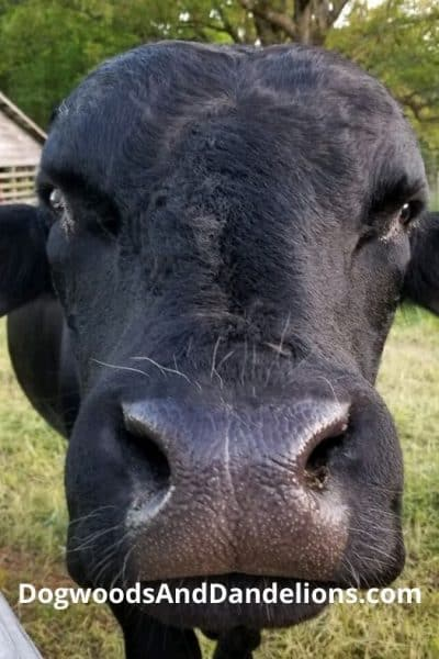 A cow in the country.