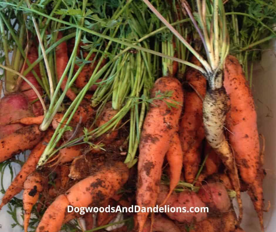 Carrots just pulled from the ground.