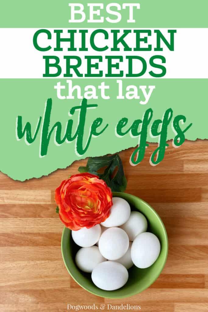 a bowl of white eggs that were laid by a leghorn