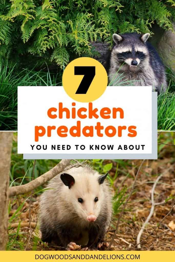 chicken predators you need to know about