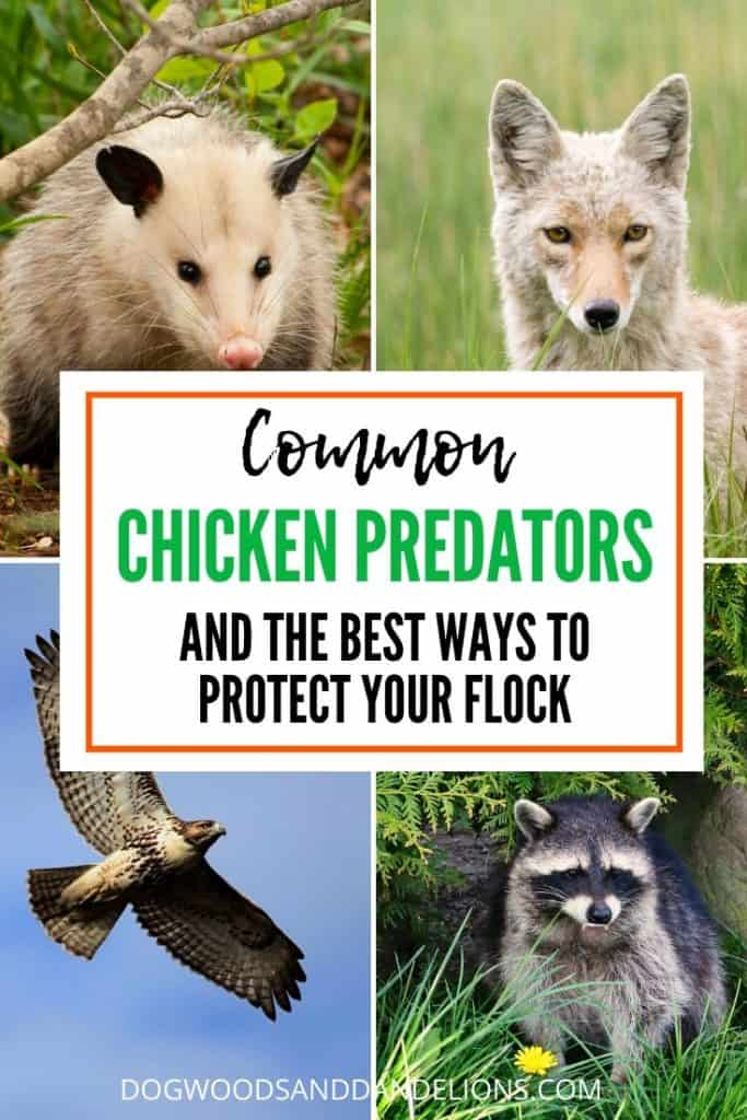 common chicken predators