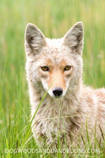 a coyote is a common chicken predator