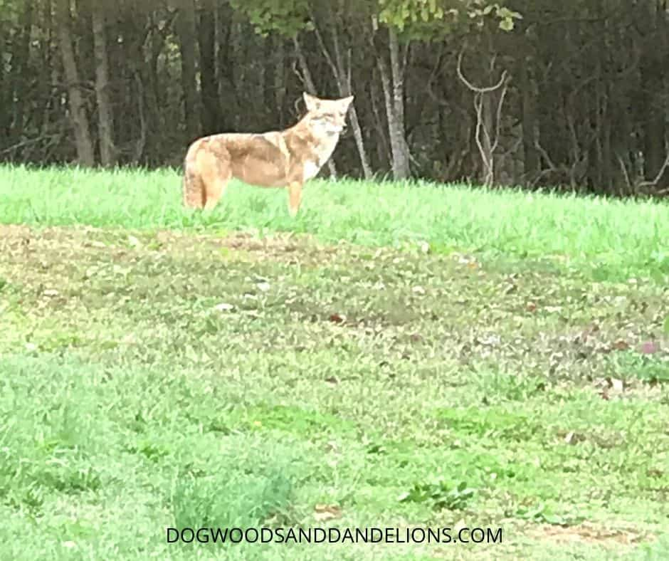 A coyote eyeing our chickens