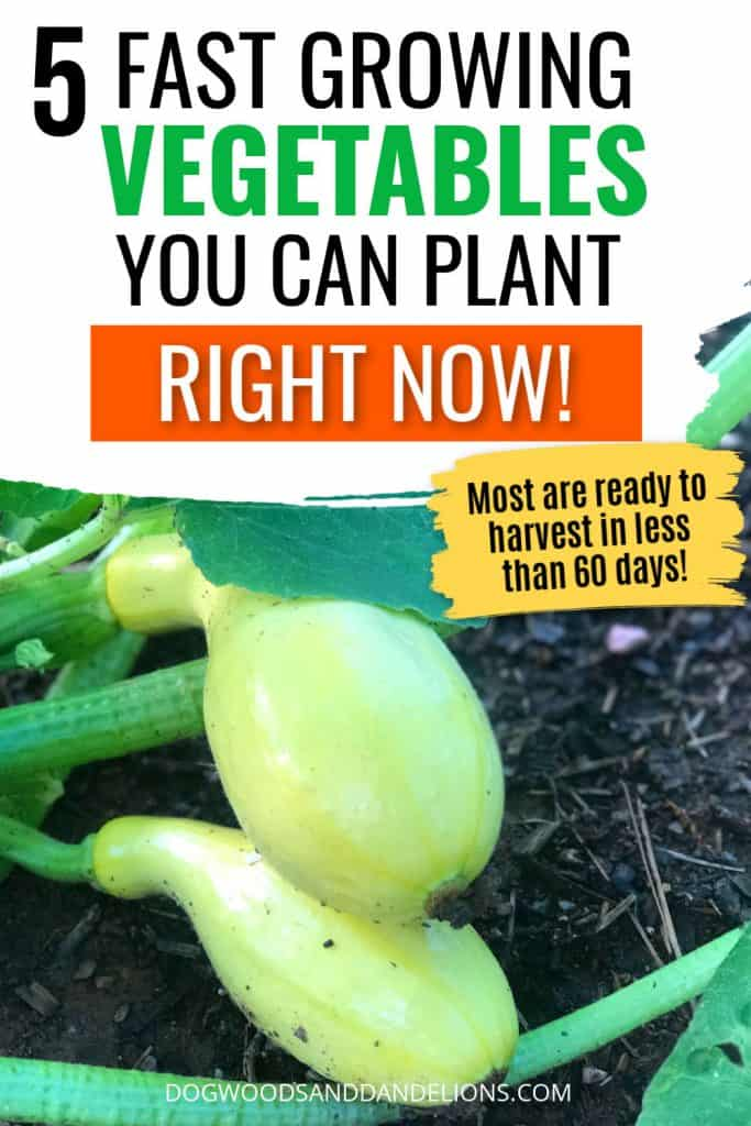 summer squash is a fast growing vegetable