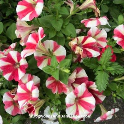 Growing Flowers in the Vegetable Garden