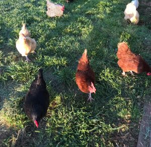 Free ranging chickens enjoying the sunshine.