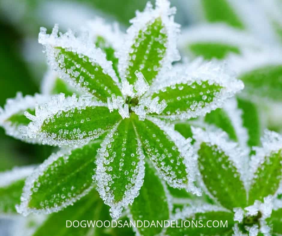 frost on a plant