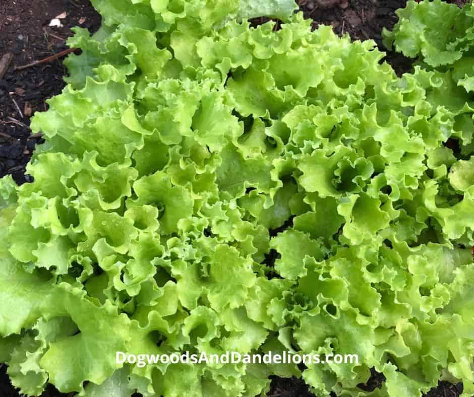 Salad bowl lettuce growing in a backyard garden.