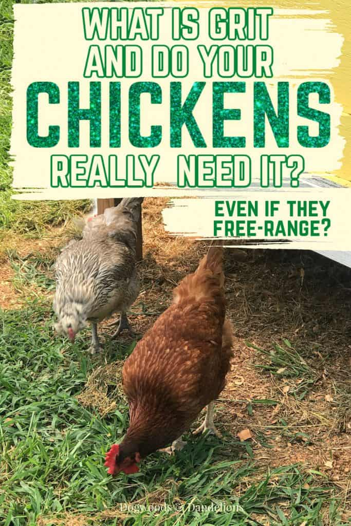 chickens pecking the ground for grit