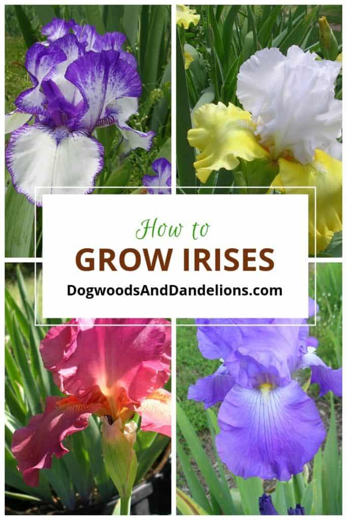 how to grow iris