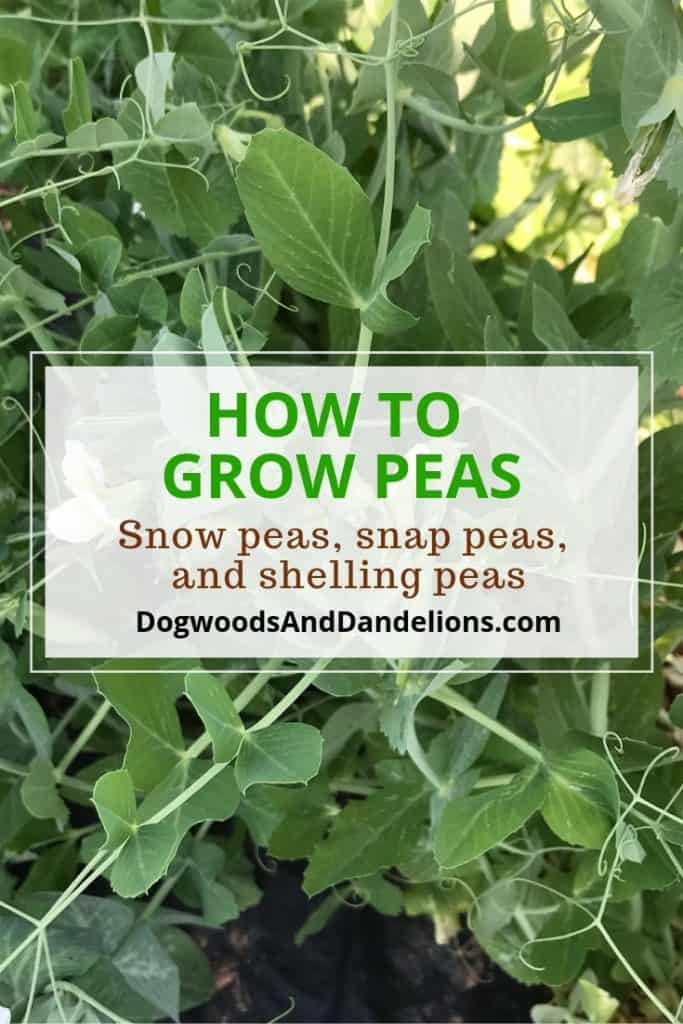 how to grow snap peas, snow peas, and shelling peas
