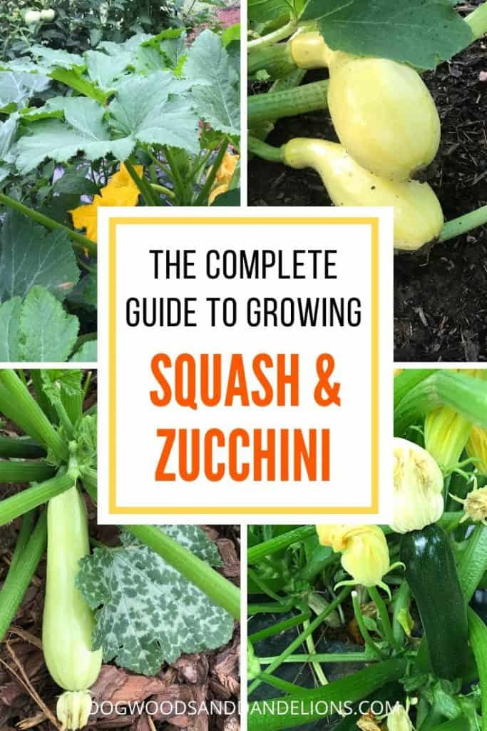 growing squash and zucchini