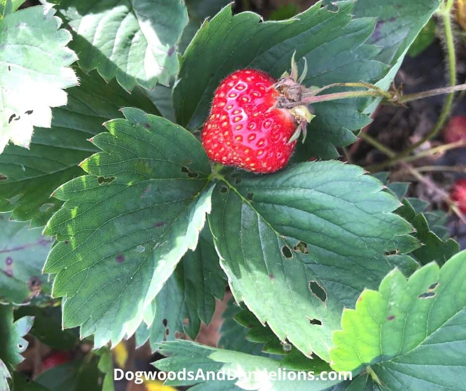 a strawberry growing in the garden