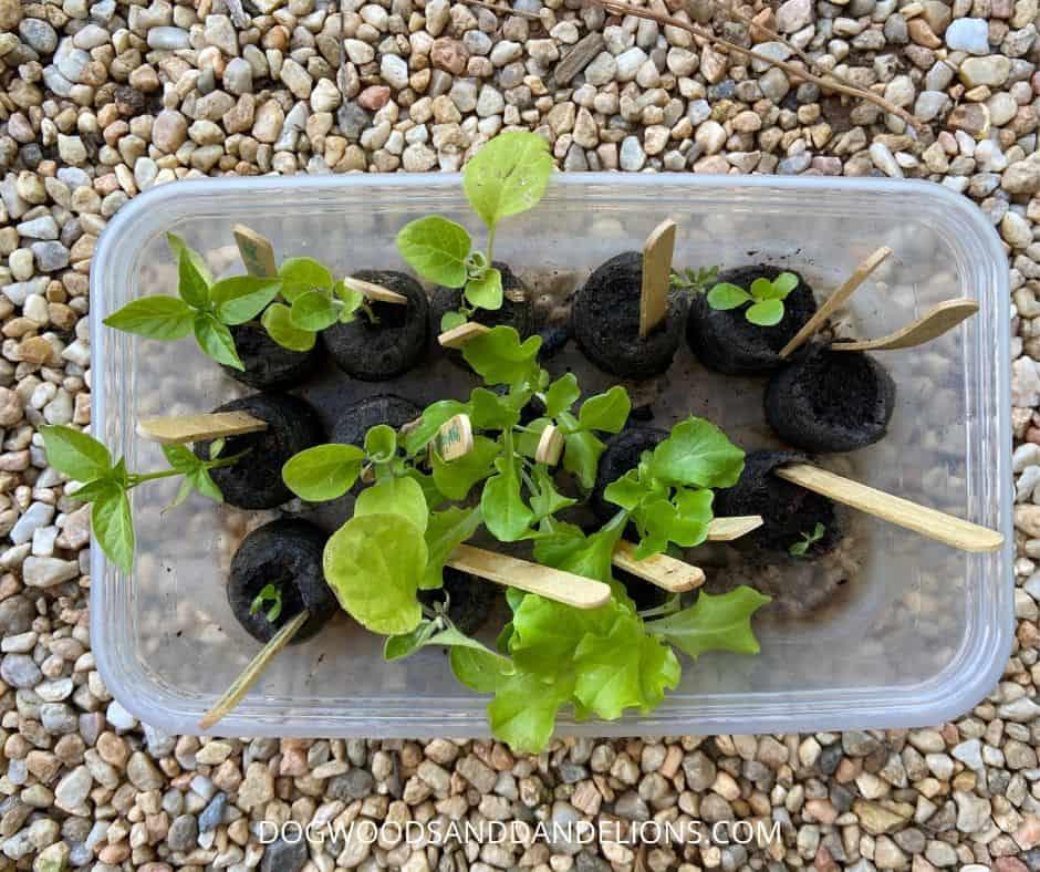 lettuce, pepper, and eggplant transplants outdoors