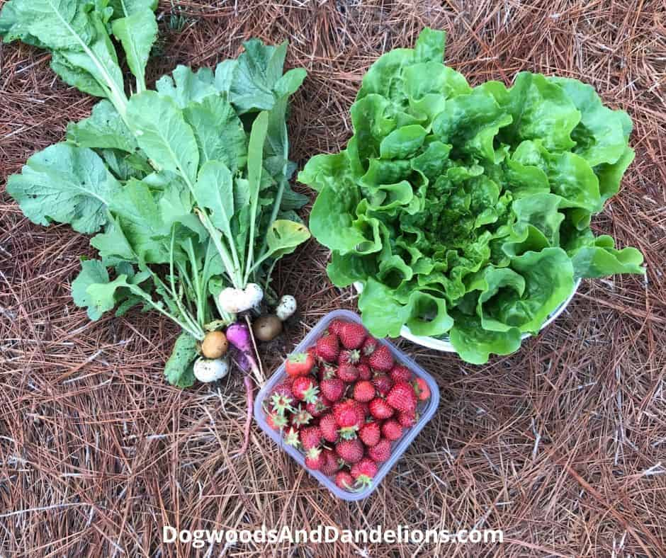 Radishes, lettuce, and strawberries are three easy crops that are perfect to grow with children.