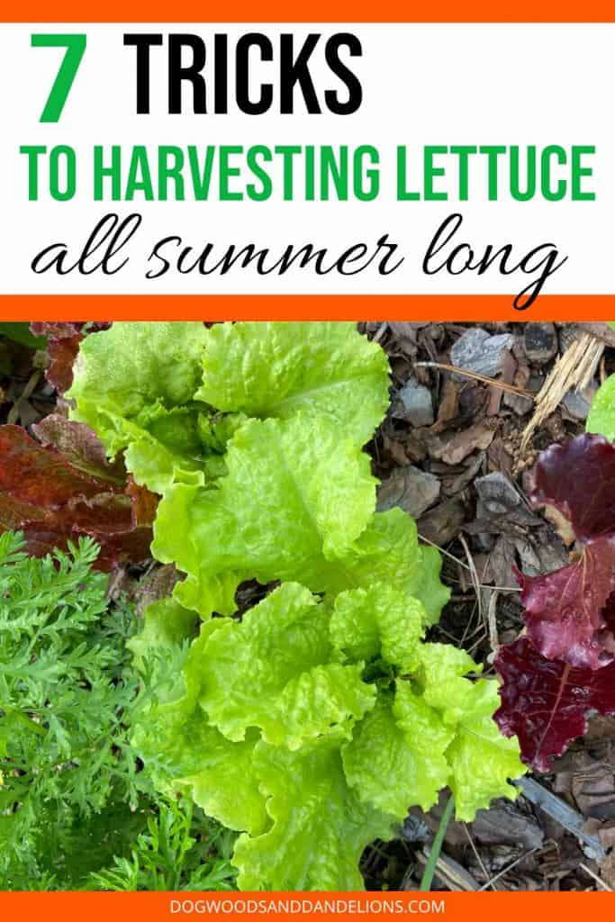 grow heat tolerant lettuce all summer long