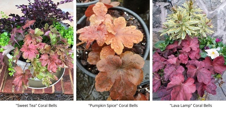 3 varieties of coral bells