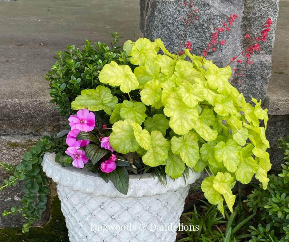 A lime green coral bell growing in a container