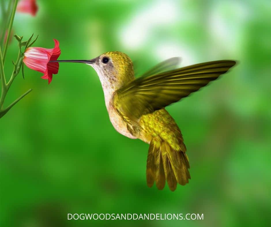 hummingbird collecting nectar