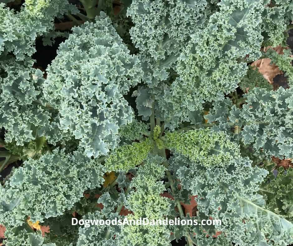 Kale can be grown all winter in some climates.