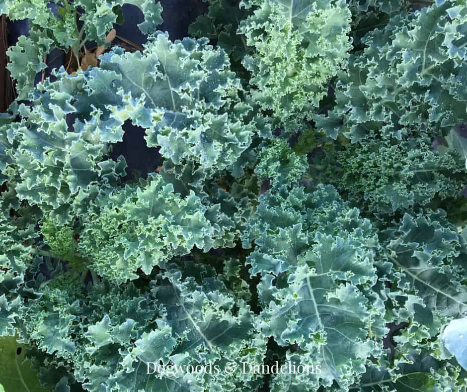 kale in the fall