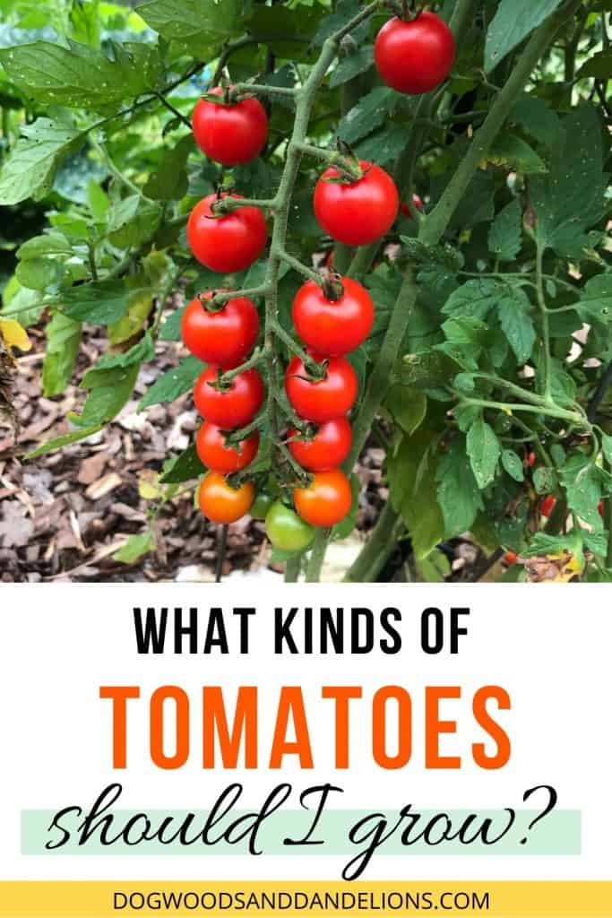 Cherry tomatoes are one of the many kinds of tomatoes to grow.