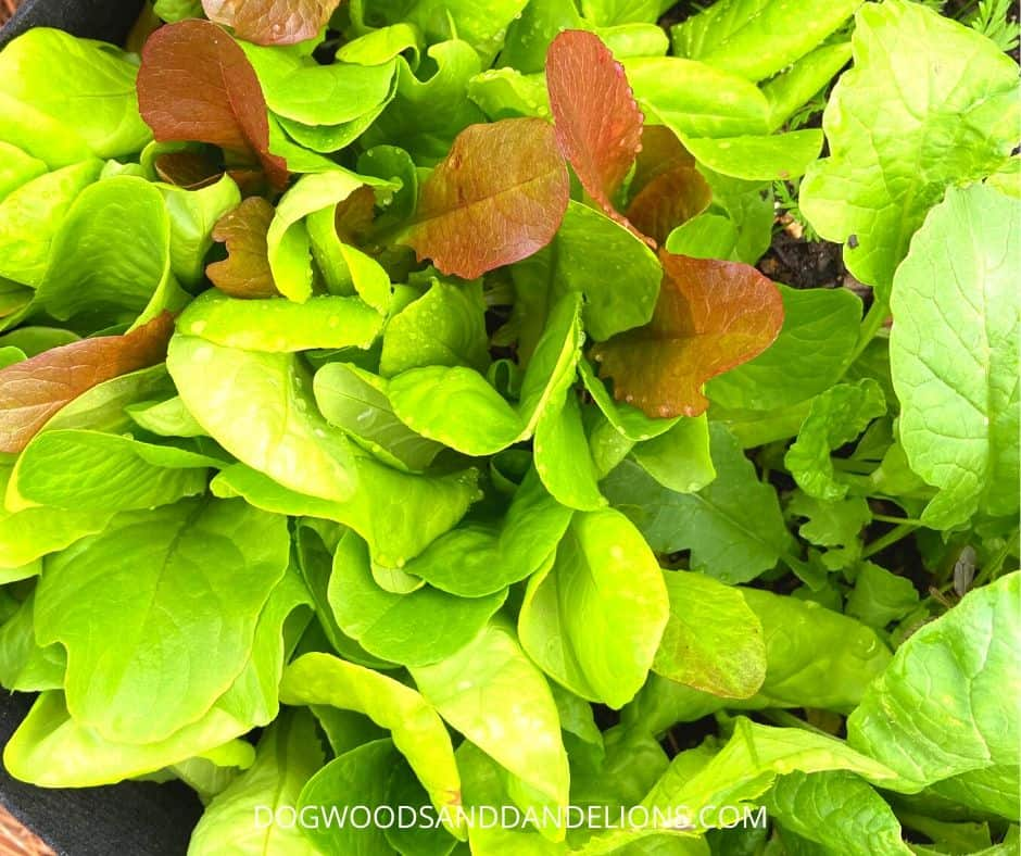 Lettuce is a quick growing vegetables for your garden.
