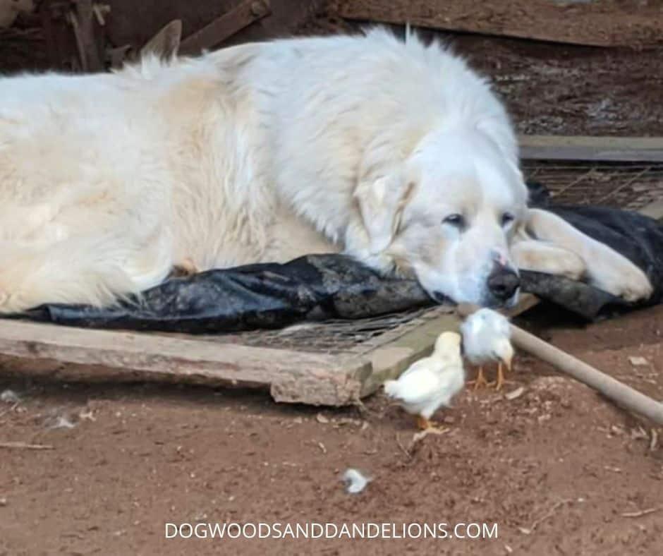 Livestock guardian dog protecting baby chicks