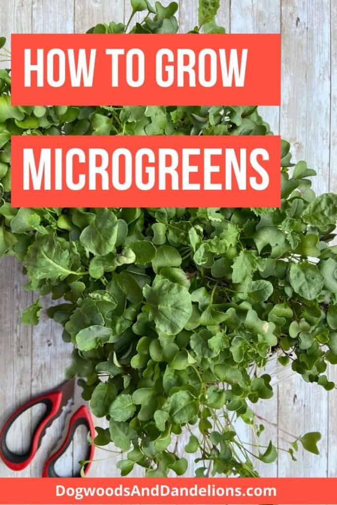 Microgreens grown indoors
