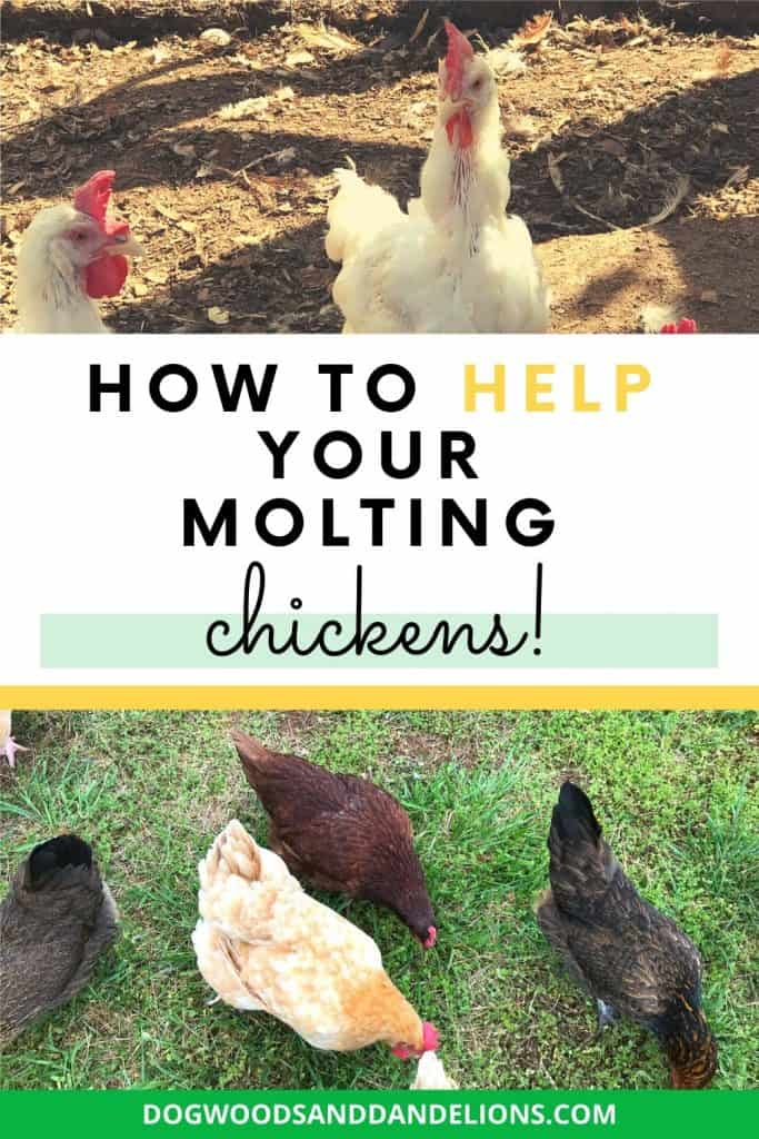 Chickens molting