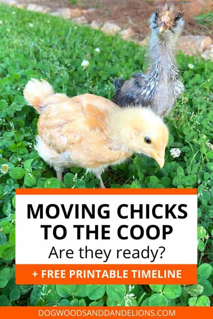 moving chicks to the coop