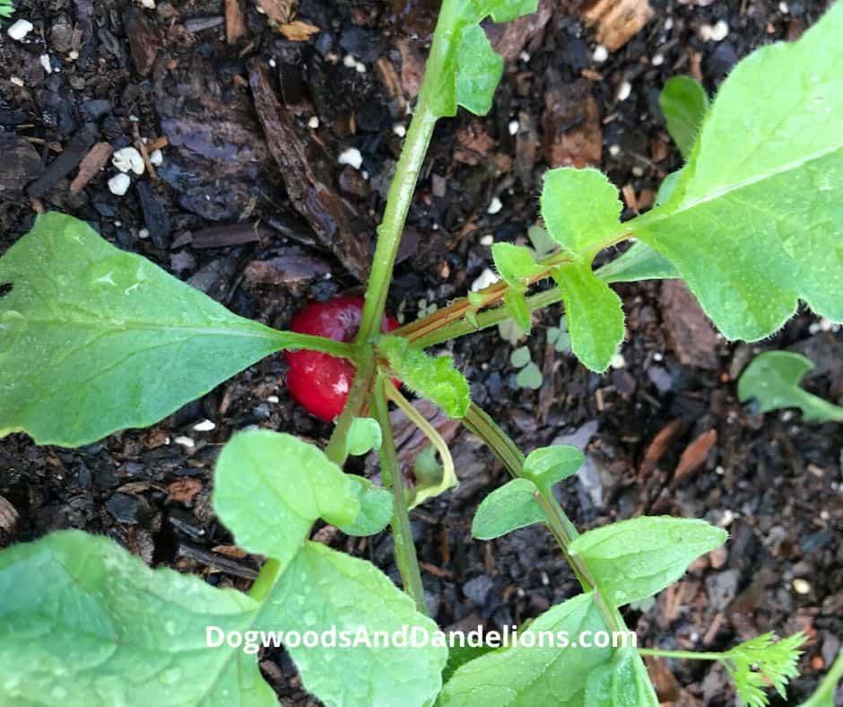 A radish in the garden