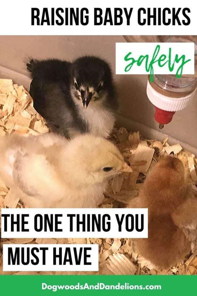 Raising chicks safely