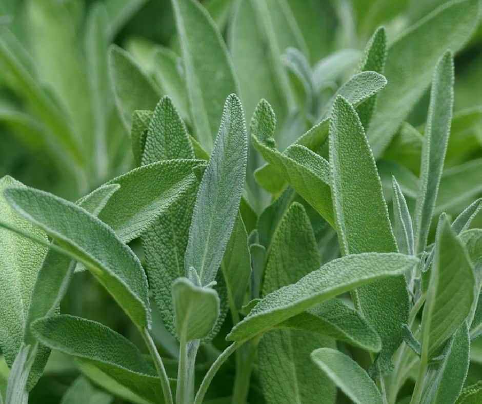 sage growing in the garden