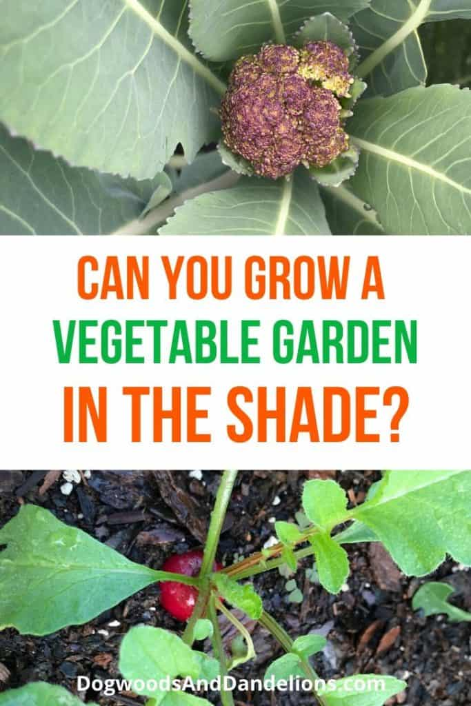 Broccoli and radishes will grow in the shade