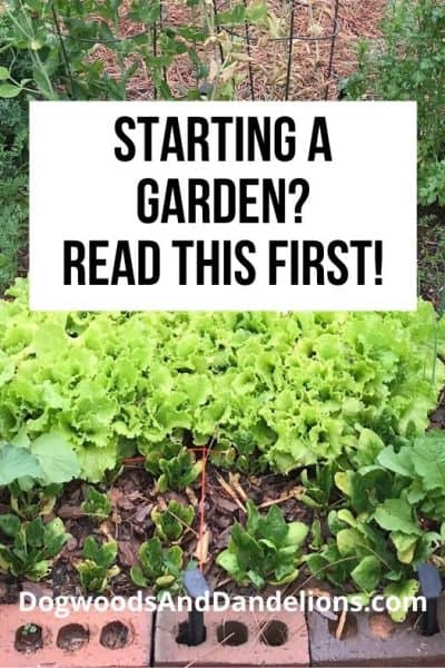 Lettuce growing in a vegetable garden.