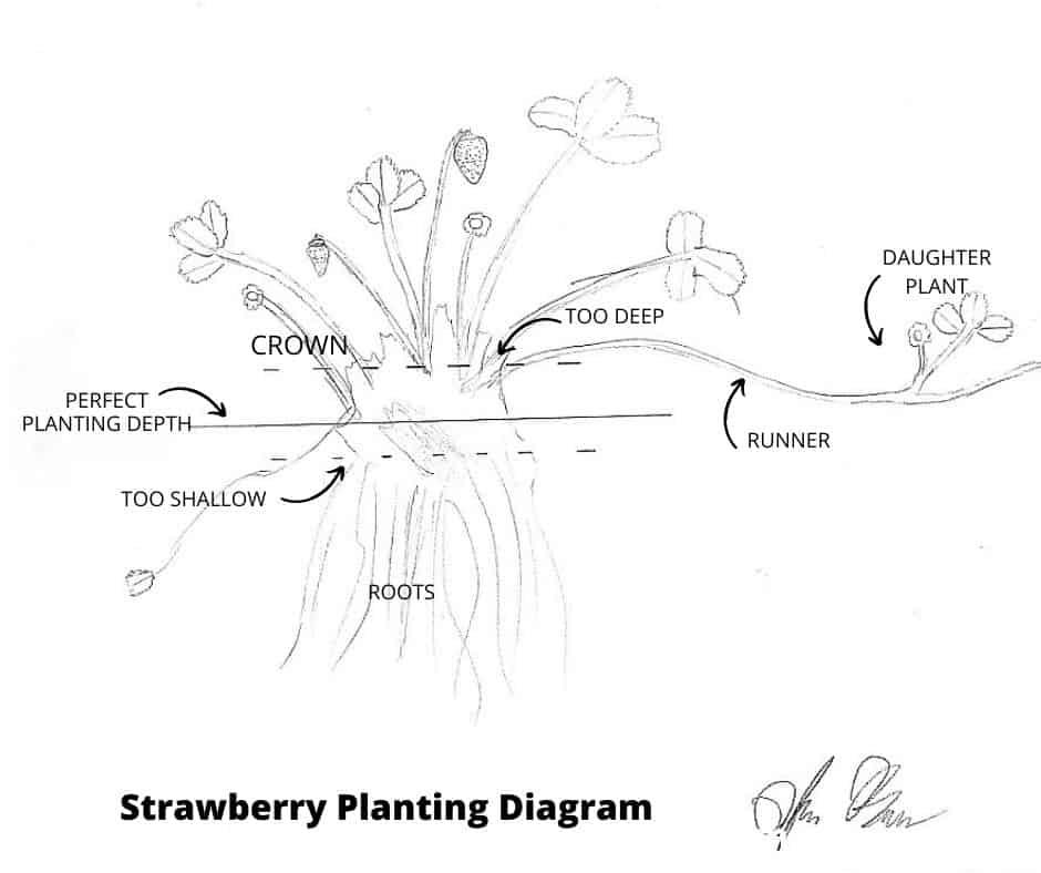 How to Grow Strawberries - Dogwoods & Dandelions