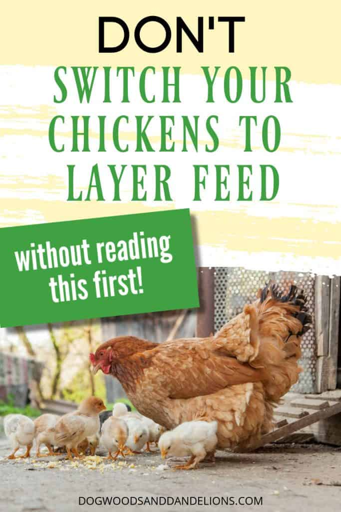switching chickens to layer feed