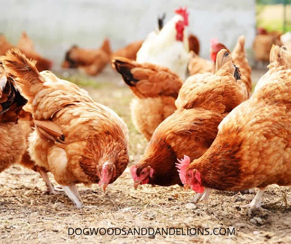 chickens eating layer feed