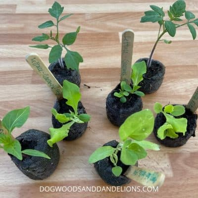 Seedlings ready to be transplanted